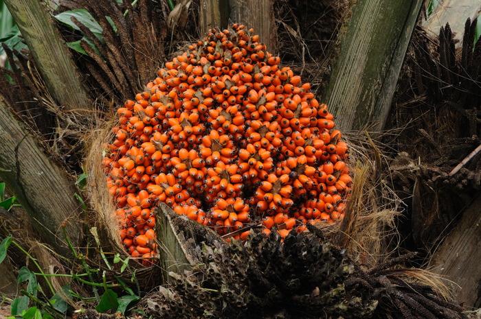 Elaeis oleifera (American Oil Palm)