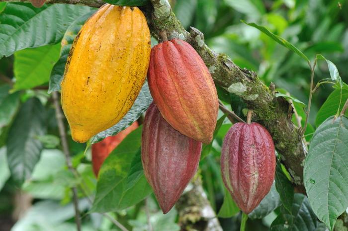 Theobroma cacao (Cacao/Cocoa)