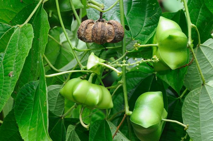 Plukenetia volubilis (Sacha Inchi)