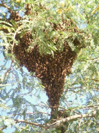 July swarm to be caught and hived