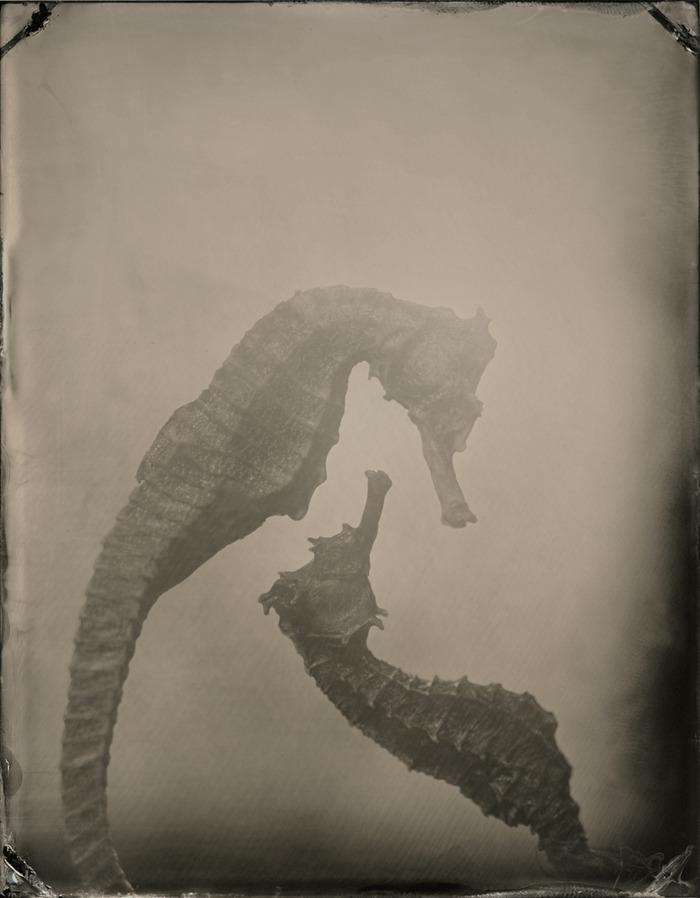 Hippocampi #1