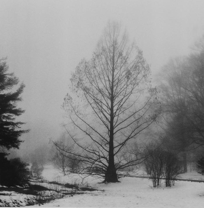 Dawn Redwood, Arnold Arboretum  2005