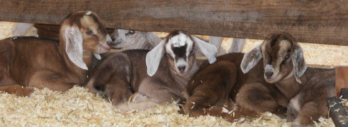 Each spring, we enjoy watching the newborn baby goats frolic with their mothers.