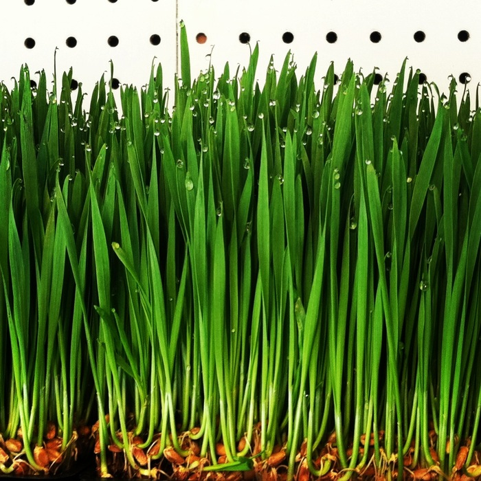 If we reach our goals, we'll have fresh wheatgrass shots to celebrate!