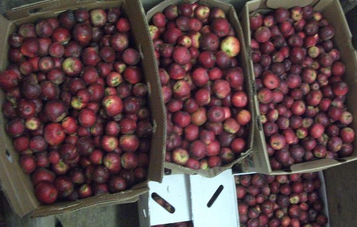 Kingston Black cider apples