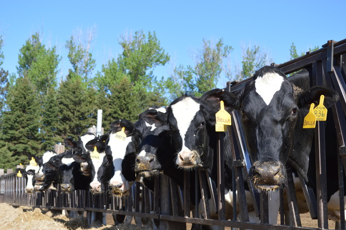 """All cows get a two-month vacation before they have their calf. Here our """"dry cows"""" are eating their feed."""