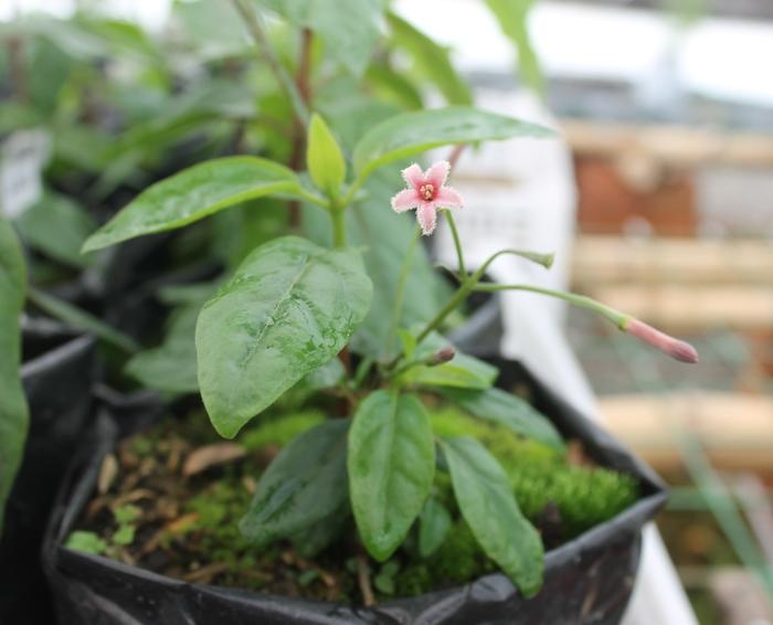 A flowering Cinchona seedling