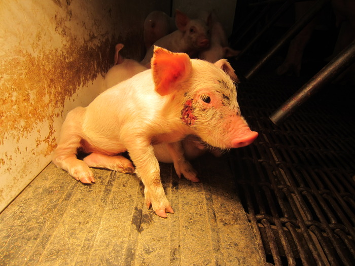 """Ag-gag"" laws are an attempt to silence whistleblowers who have exposed cruelty, like this injured and neglected piglet on a farm in Iowa."