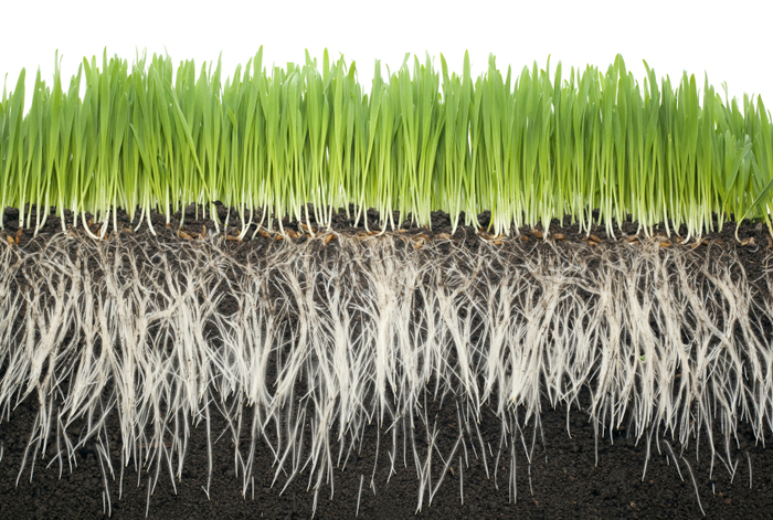 Long roots equal better nutrition