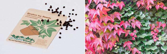 Packet of Boston Ivy Seeds (Parthenocissus tricuspidata)