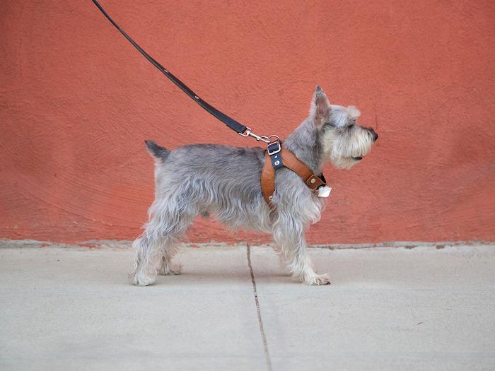 DeeOhGee wearing the Deetach harness, light and leash.