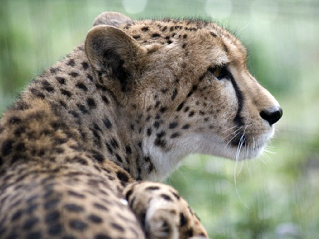 To Save the Cheetah: A Documentary's video poster