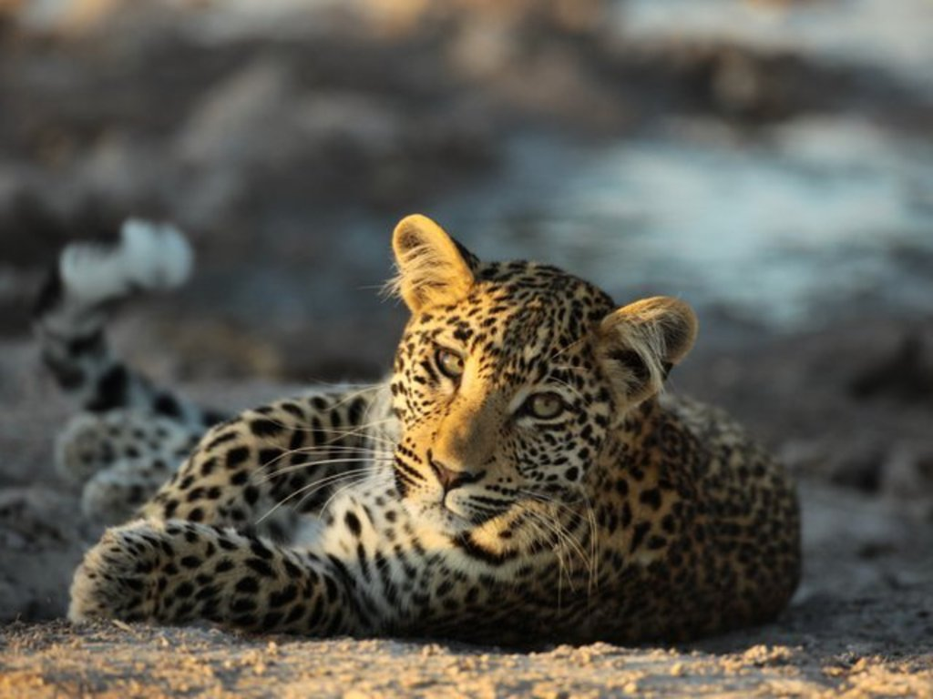 To Skin a Cat - a film to stop the slaughter of leopards.'s video poster