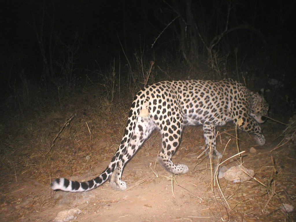 Nightwatch - Catching Arabian Leopards with Camera Traps's video poster