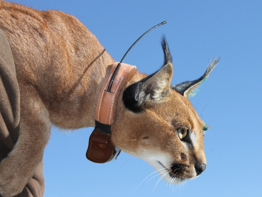 Caracal Cat Documentary Project's video poster