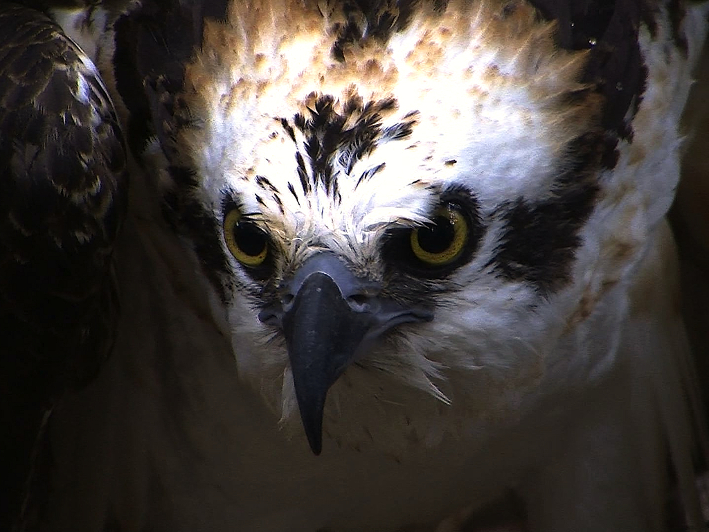 Osprey: Documentary Feature's video poster